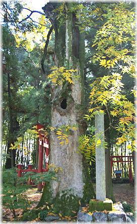 阿夫志奈神社のムクロジ