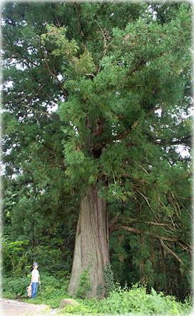 画像:坂戸の一本杉幹と並ぶ