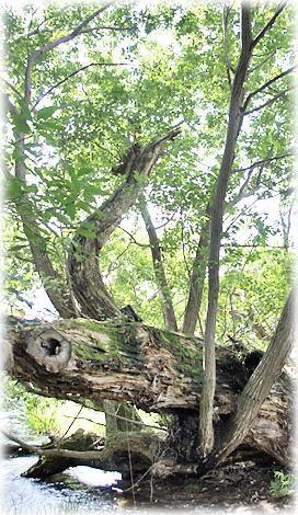 万力林のアカメヤナギ