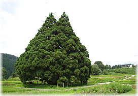 小杉の大杉(曲川の大杉/トトロ...