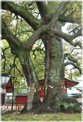 春日神社の御神木(クスノキ)