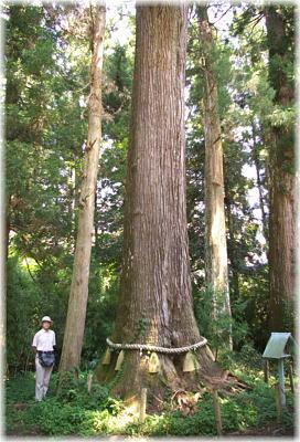 小村神社の牡丹杉