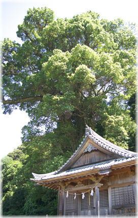 佐川の大樟