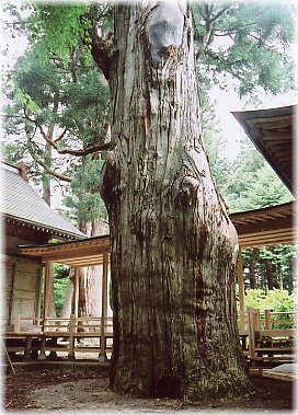 八幡の姥杉(八幡神社の姥杉)